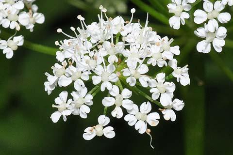 セリ科植物 イワミツバ